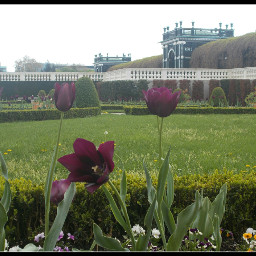 garden versaillesstyle tulips black purple