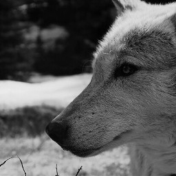 wolf photography snow newmexico