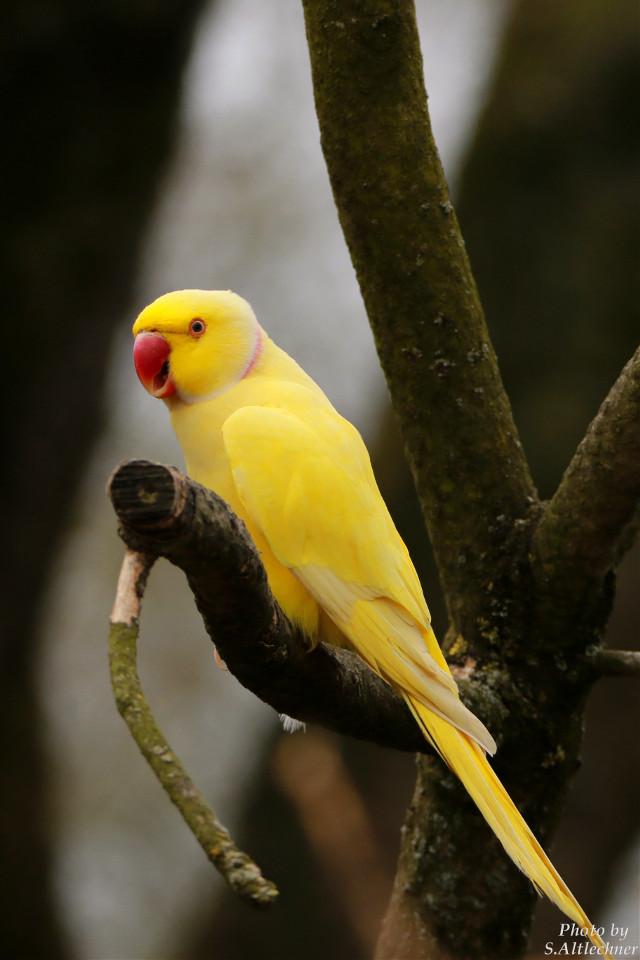 #alexanderparakeet #photography #nature #petsandanimals #animals #zoo #bird #eye #animal #wildlife #parakeet #yellow