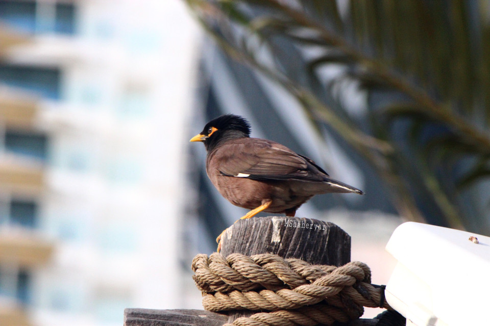 #photography #bird #myna #outdoors #fence #woodenfencepost #treebranch #building  #macro